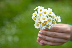 Χέρι γυναίκας με camomile τη θερινή ημέρα Στοκ Φωτογραφία