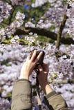 Χέρι γυναικών που παίρνει την εικόνα του άνθους δέντρων κερασιών σε Alishan Στοκ εικόνες με δικαίωμα ελεύθερης χρήσης