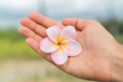 Χέρι γυναικών που παρουσιάζει φρέσκο φυσικό της Χαβάης λουλούδι plumeria Στοκ Φωτογραφίες