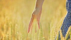 Χέρι γυναικών σχετικά με τα αυτιά σίτου στον τομέα Γεωπόνος γυναικών σχετικά με το μίσχο σίτου φιλμ μικρού μήκους