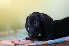 Χέρι ενός παιδιού και ενός κουταβιού ενός σκυλιού Στοκ Εικόνες