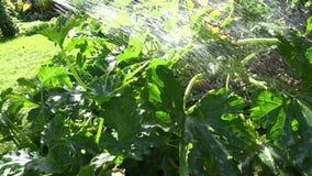 Χέρι εργαζομένων κήπων με τις φυτικές εγκαταστάσεις κολοκυθιών ποτίσματος εργαλείων ψεκαστήρων μανικών νερού 4K απόθεμα βίντεο