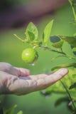 Χέρι και πράσινο λεμόνι στο δέντρο Στοκ φωτογραφία με δικαίωμα ελεύθερης χρήσης