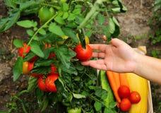 Χέρι κηπουρών με την ντομάτα Στοκ Φωτογραφίες
