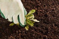Χέρι κηπουρών που σηκώνει το πλατύφυλλο ζιζάνιο Στοκ φωτογραφίες με δικαίωμα ελεύθερης χρήσης