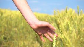 Χέρι κινηματογραφήσεων σε πρώτο πλάνο σχετικά με τη χλόη δημητριακών απόθεμα βίντεο