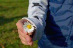 Χέρι κοριτσιών με μια κοινή άσπρη μαργαρίτα Στοκ Εικόνες