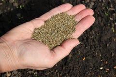 Χέρι με τους σπόρους μαράθου Στοκ εικόνα με δικαίωμα ελεύθερης χρήσης
