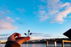 Χέρι με τους σπόρους πεύκων στοκ εικόνες