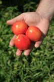 Χέρι με τρεις ντομάτες Στοκ φωτογραφίες με δικαίωμα ελεύθερης χρήσης