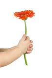 Χέρι μωρών που κρατά το κόκκινο gerber Στοκ Εικόνες