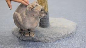 Χέρι παιδιών που χαϊδεύει τη γάτα απόθεμα βίντεο