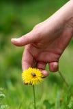 χέρι πικραλίδων Στοκ εικόνα με δικαίωμα ελεύθερης χρήσης