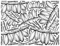 Χέρι που επισύρεται την προσοχή των φρούτων Bilimbi στο άσπρο υπόβαθρο απεικόνιση αποθεμάτων