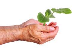 Χέρι που κρατά ένα νέο δενδρύλλιο αγγουριών, που φροντίζει για τις εγκαταστάσεις Στοκ φωτογραφία με δικαίωμα ελεύθερης χρήσης