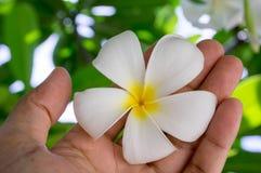 χέρι που κρατά ένα τροπικό λουλούδι plumeria Στοκ Εικόνες