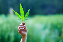 Χέρι που κρατά ένα φύλλο της μαριχουάνα Στοκ Εικόνες