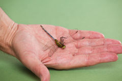 Χέρι που κρατά μια νεκρή μύγα δράκων Στοκ εικόνα με δικαίωμα ελεύθερης χρήσης