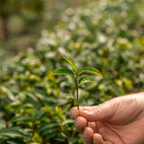 Χέρι που κρατά τα φρέσκα φύλλα τσαγιού Φυτείες τσαγιού Στοκ Εικόνα