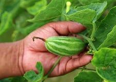 Χέρι που κρατά την πράσινη δειγμένη κολοκύθα Στοκ Φωτογραφία