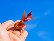 Χέρι που κρατά το κόκκινο φύλλο πέρα από το υπόβαθρο μπλε ουρανού Στοκ εικόνα με δικαίωμα ελεύθερης χρήσης