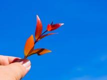 Χέρι που κρατά το κόκκινο φύλλο πέρα από το υπόβαθρο μπλε ουρανού Στοκ φωτογραφίες με δικαίωμα ελεύθερης χρήσης