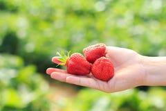 Χέρι που κρατά τρεις φράουλες με το πράσινο υπόβαθρο Στοκ Φωτογραφία