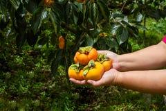 Χέρι που κρατά ώριμο persimmon Στοκ φωτογραφία με δικαίωμα ελεύθερης χρήσης