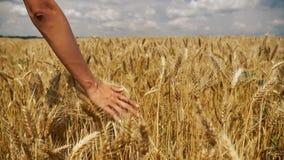 Χέρι που περνά από το σιτάρι σε σε αργή κίνηση απόθεμα βίντεο