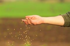 Χέρι που σπέρνει το σιτάρι στοκ εικόνα με δικαίωμα ελεύθερης χρήσης