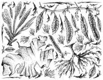 Χέρι που σύρεται των λαχανικών θάλασσας ή του υποβάθρου φυκιών ελεύθερη απεικόνιση δικαιώματος