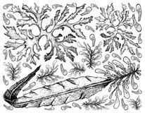 Χέρι που σύρεται των λαχανικών θάλασσας ή του υποβάθρου φυκιών απεικόνιση αποθεμάτων