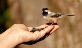 Χέρι που ταΐζει το μαύρος-καλυμμένο chickadee Στοκ Φωτογραφία