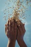χέρι σιταριού Στοκ εικόνες με δικαίωμα ελεύθερης χρήσης