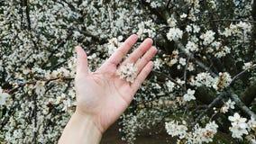 Χέρι στο ανθίζοντας υπόβαθρο κερασιών Στοκ εικόνες με δικαίωμα ελεύθερης χρήσης