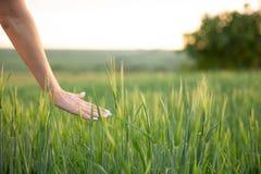 Χέρι σχετικά με τις ακίδες σίτου με το χέρι της στο ηλιοβασίλεμα στη χλόη στοκ εικόνα