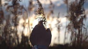 Χέρι της γυναίκας σχετικά με τις εγκαταστάσεις στο χρόνο ηλιοβασιλέματος Θηλυκά δάχτυλα που κτυπούν το χορτάρι Θερμό ελαφρύ να λά φιλμ μικρού μήκους