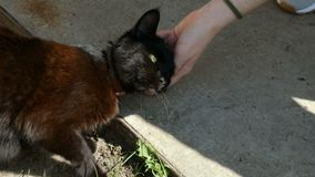 Χέρι του προσώπου που κτυπά την επικεφαλής χνουδωτή μαύρη γάτα Αγάπη στα ζώα απόθεμα βίντεο
