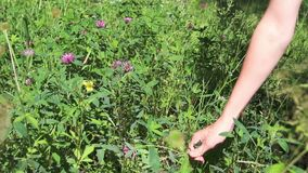 Χέρι του σκισίματος κοριτσιών από το wildflower απόθεμα βίντεο