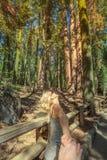 Χέρι-χέρι Sequoia δάσος Στοκ Εικόνα