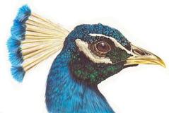 χέρι peacock Στοκ Εικόνες