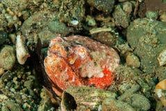 Χέλι φιδιών ερπετοειδών σε Ambon, Maluku, υποβρύχια φωτογραφία της Ινδονησίας Στοκ Φωτογραφία