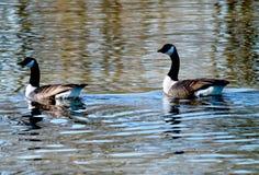 Χήνα δύο που κολυμπά μαζί την ηλιόλουστη ημέρα Στοκ Φωτογραφίες
