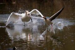 Χήνα κυνηγιών του Κύκνου στοκ φωτογραφία με δικαίωμα ελεύθερης χρήσης