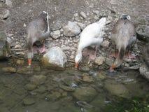 Χήνα Οι χήνες πίνουν το νερό στοκ φωτογραφίες με δικαίωμα ελεύθερης χρήσης