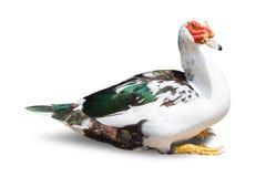 χήνα που απομονώνεται στο άσπρο υπόβαθρο στοκ φωτογραφίες με δικαίωμα ελεύθερης χρήσης
