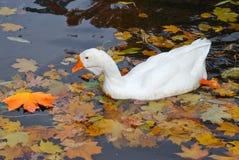 Χήνα που κολυμπά σε μια λίμνη Στοκ Εικόνες