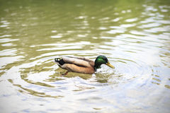 Χήνα που κολυμπά σε μια λίμνη στοκ φωτογραφία με δικαίωμα ελεύθερης χρήσης