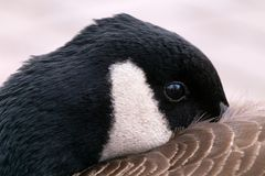 Χήνα που κρύβει το ράμφος του κάτω από το φτερό στοκ εικόνες με δικαίωμα ελεύθερης χρήσης
