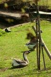 Χήνα στη χλόη στο πάρκο στοκ εικόνα με δικαίωμα ελεύθερης χρήσης